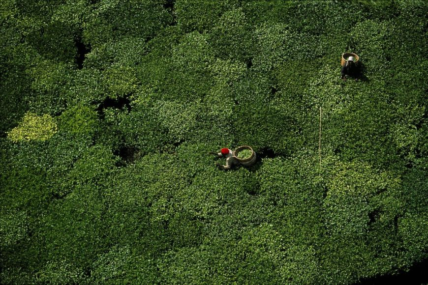 Cueillette du thé, Kenya