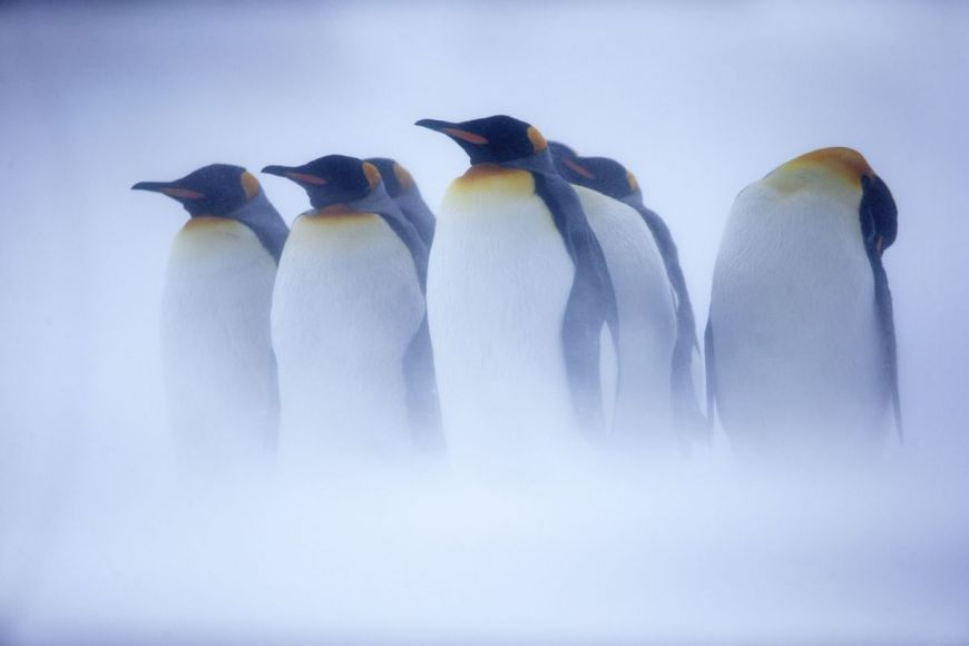 Manchot royal, Antarctique