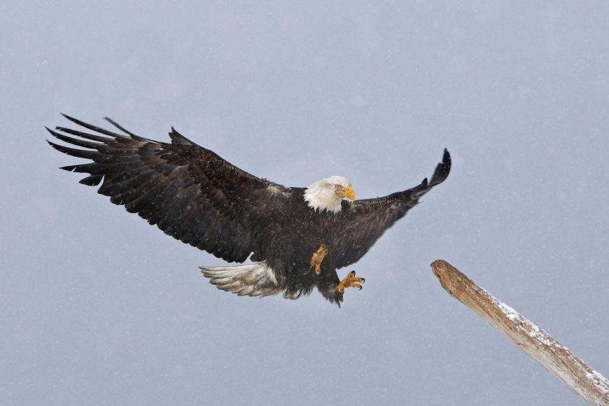 Bald eagle, Alaska, United States