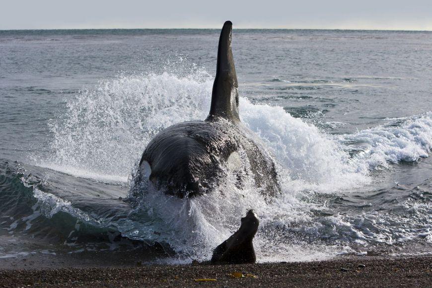 Attaque d'orque, Patagonie, Argentine