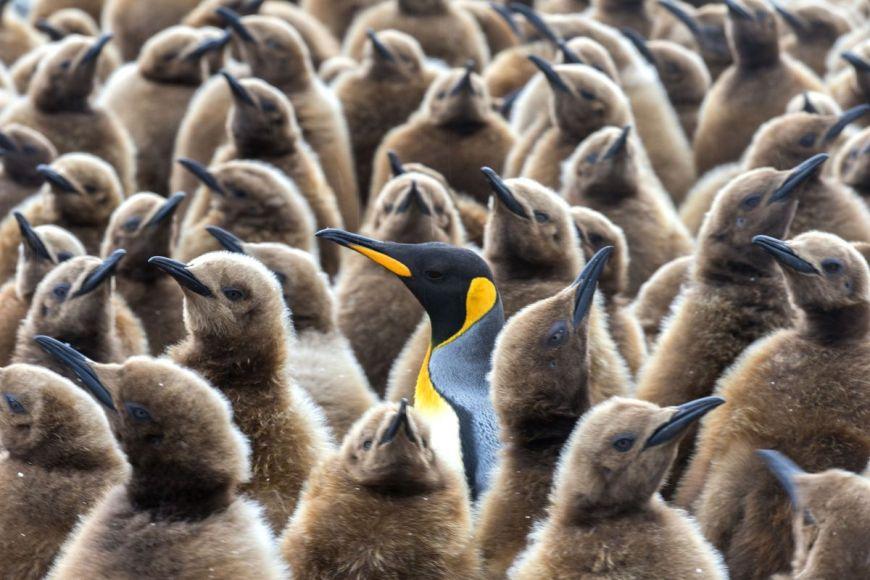 Manchot royal, Antarctique