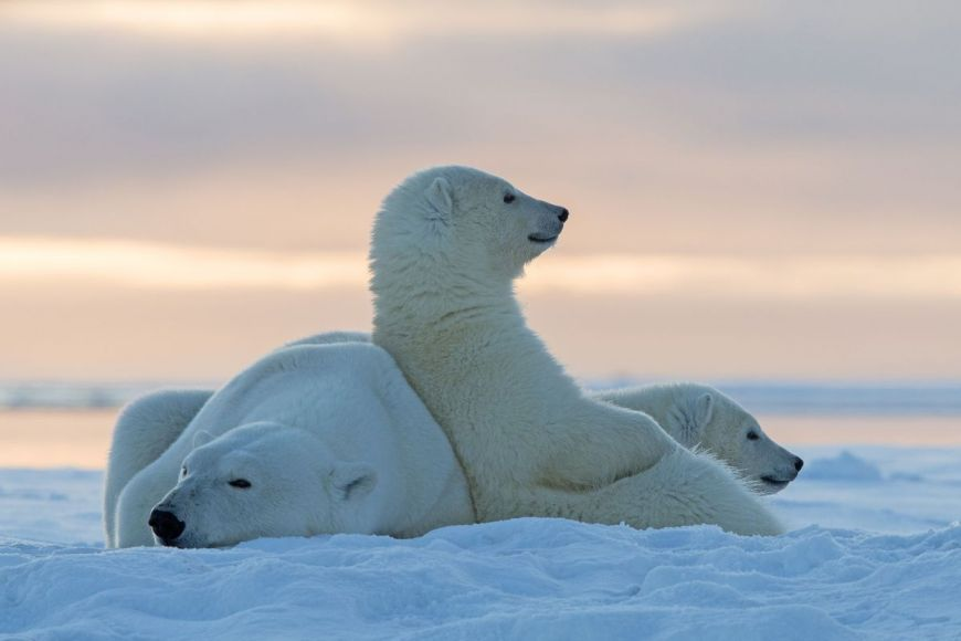 Polar Bears, Alaska, United States
