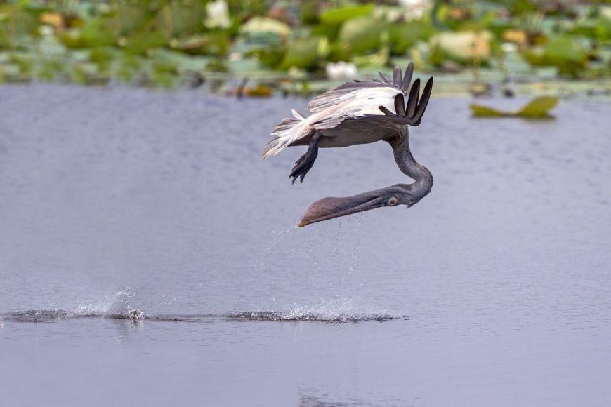 Pélican à bec tacheté, Parc national de Yala, Sri Lanka