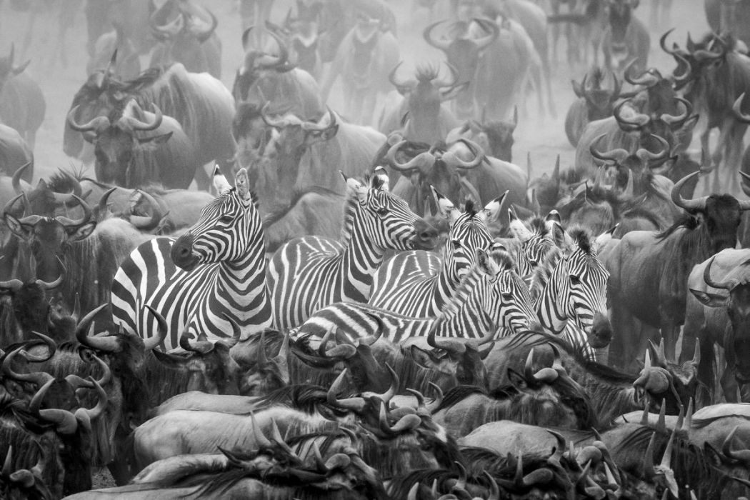 Kenya, zebra and wildebeest in migration