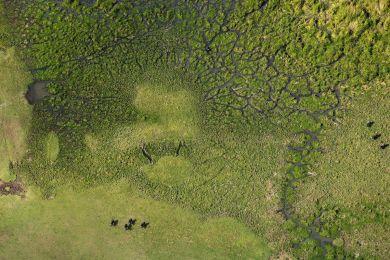 Kenya, buffalos in Masai Mara