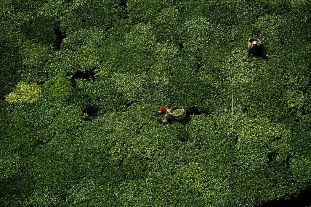 Tea picking, Kenya