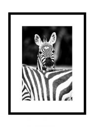 Kenya, zèbres de Grant