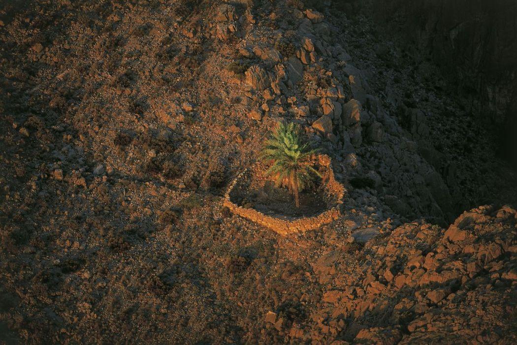 Palmiers, péninsule de Musandam, Oman