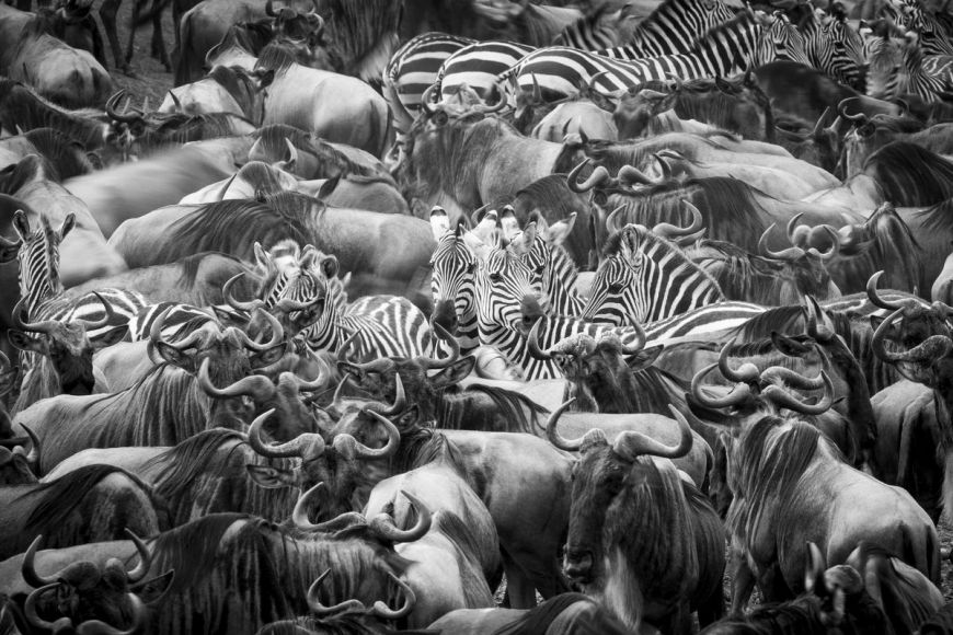 Kenya, wildbeest and zebra in migration