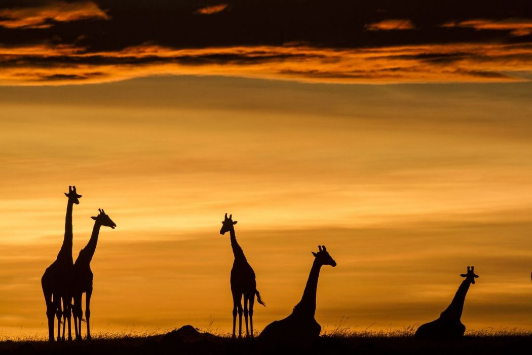 Kenya, giraffes at sunrise