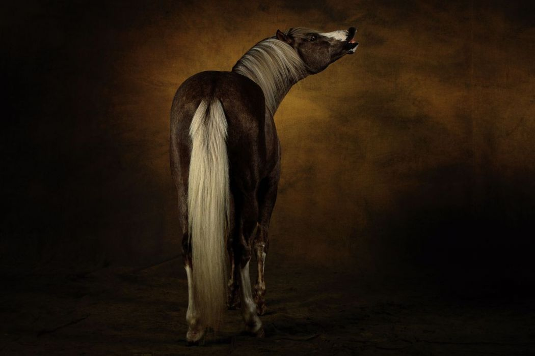 Arabe barbe horse
